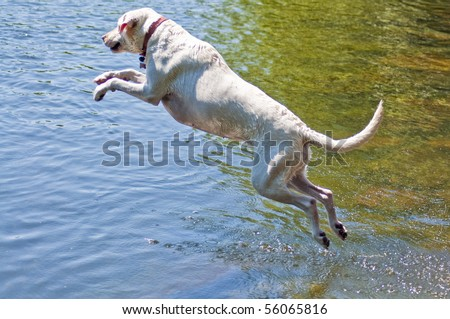 Yellow Labrador Retriever jumping into the water at a dog park.