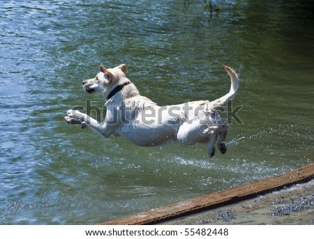 Yellow Labrador Retriever jumping into water at a dog park. He flies through the air on a hot summer day to retrieve a ball.