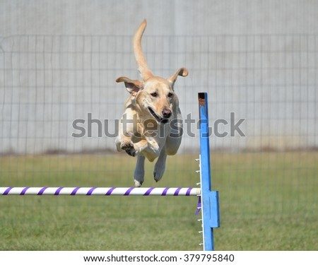 Yellow Labrador Retriever Leaping Over a Jump at Dog Agility Trial - stock photo