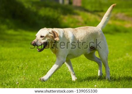 Yellow labrador retriever on meadow - stock photo