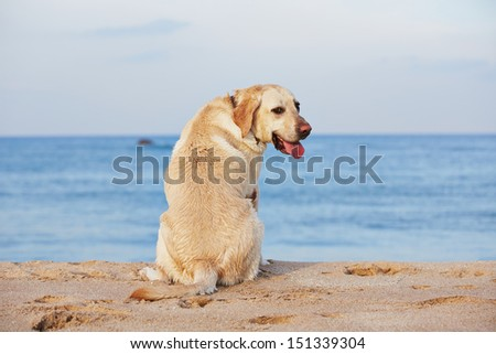 Yellow labrador retriever on the beach. - stock photo