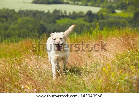 Yellow labrador retriever on the summer meadow - stock photo