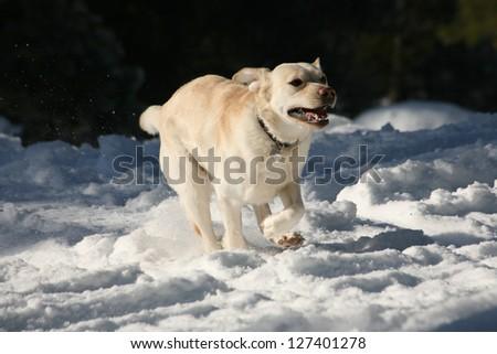 Yellow Labrador Retriever playing in the snow - stock photo