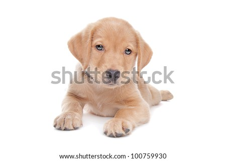 yellow Labrador retriever puppy in front of a white background