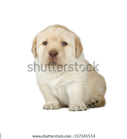 Yellow Labrador Retriever Puppy (4 week old, isolated on white background) - stock photo
