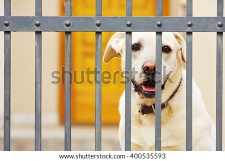 Yellow labrador retriever waiting behind the fence