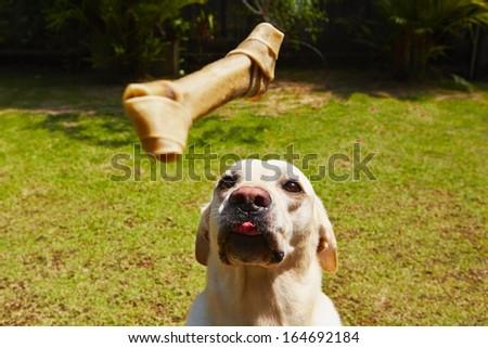 Yellow labrador retriever with bone in the garden. - stock photo