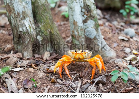 yellow land crab near the Bay of Pigs in Cuba