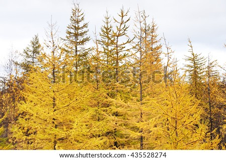 Yellow larch. Taimyr Peninsula, tundra. Deep autumn - stock photo