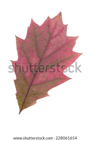 Yellow leaf as an autumn symbol as a seasonal themed concept as an icon of the fall weather on an isolated white background. - stock photo