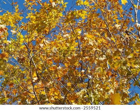 yellow leafs - stock photo