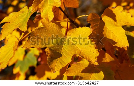 Yellow leafs of maple on a tree.