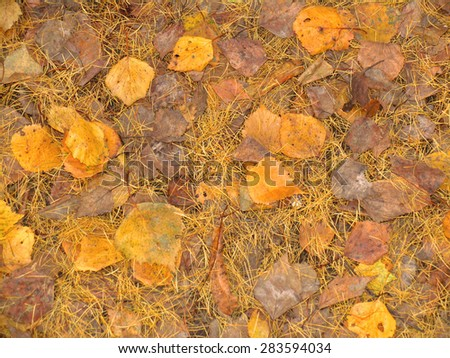 Yellow leaves and needles as a autumn background and texture - stock photo