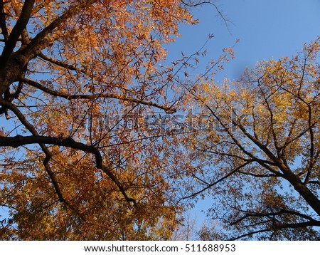 yellow leaves during fall on a tree with a blue sky background