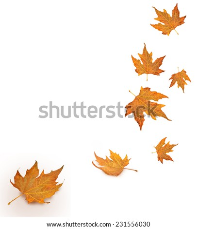 yellow leaves falling from the sky in white background- autumn season - isolated - stock photo