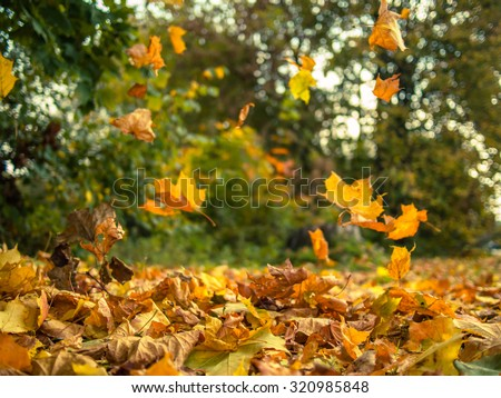 Yellow leaves falling from trees on a sunny autumn day