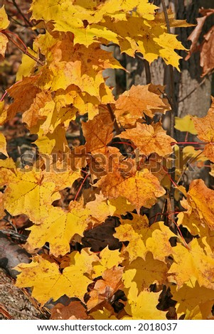 Yellow leaves in Gatineau Park - stock photo