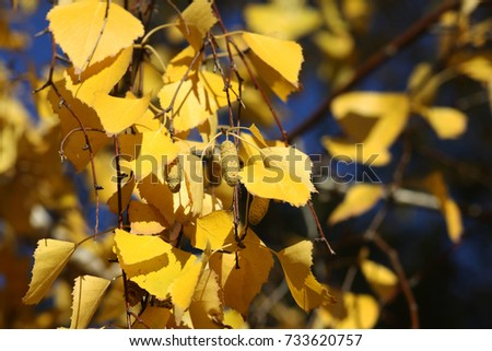 yellow leaves of a birch tree