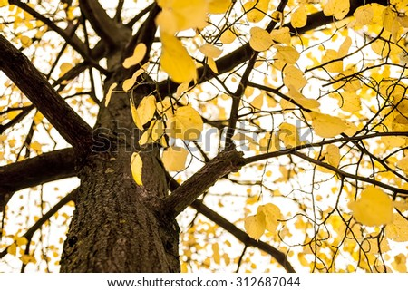 Yellow Leaves on a Tree in Autumn, yellow monochrome - stock photo