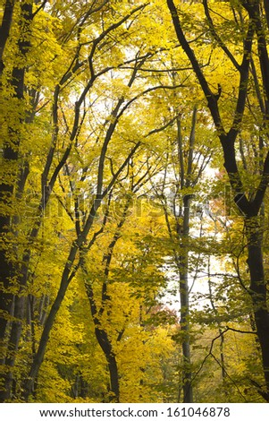 yellow leaves on the tree, autumn gold trees - stock photo