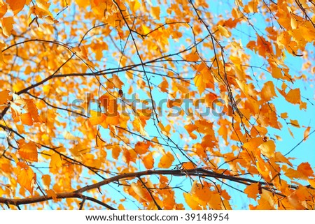 Yellow leaves on thin birch's twigs over blue sky - stock photo