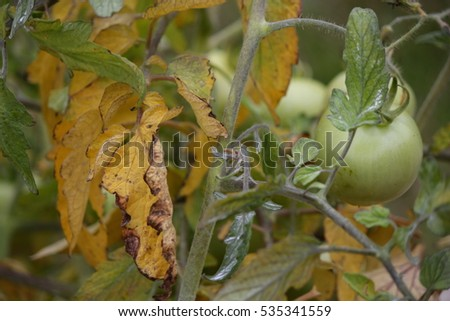 YELLOW LEAVES ON TOMATO PLANT