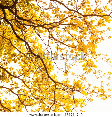 yellow leaves on white background - stock photo
