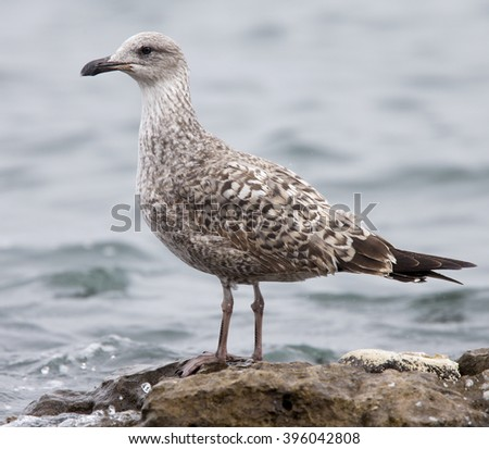 Yellow-legged Gull, (Larus michahellis) first-winter, standing, Fuerteventura, Canary Islands, Spain.