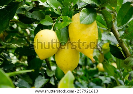 yellow Lemons growth on a lemon tree
