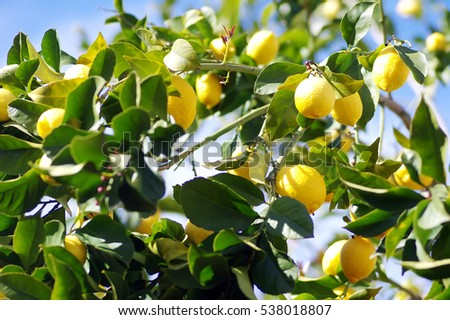 yellow lemons on lemon tree