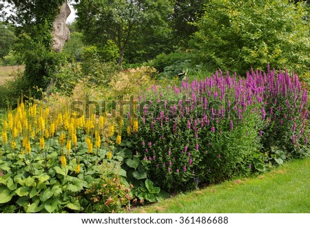 Yellow Ligularia przewalskii (Leopard Plant) and Purple Lythrum (Loosestrife) in a Country Cottage Garden in Devon, England, UK