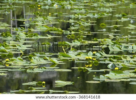 Yellow lilies begin to flower on a lily pad covered pond. - stock photo
