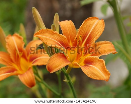 Yellow lilies in summer garden