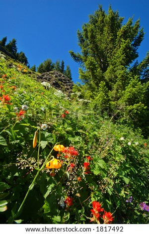 Yellow Lilies, Indian Paintbrush, and Parsnip in an alpine meadow in Washington State's Olympic National Park - stock photo