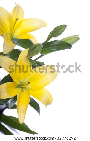 yellow Lilies isolated over white background - stock photo