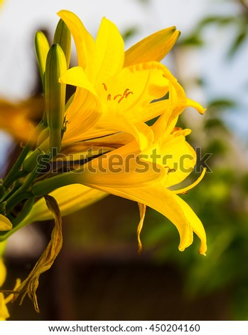 Yellow lilium buds and flower, yellow day lily. Background - stock photo