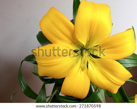 Yellow lily blossom view close up       - stock photo