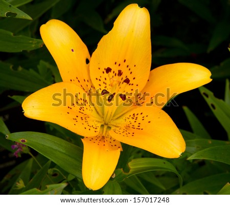 Yellow Lily Close up - stock photo