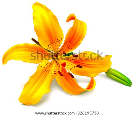 Yellow lily flower with buds isolated on a white background. Flowers resembles a starfish - stock photo