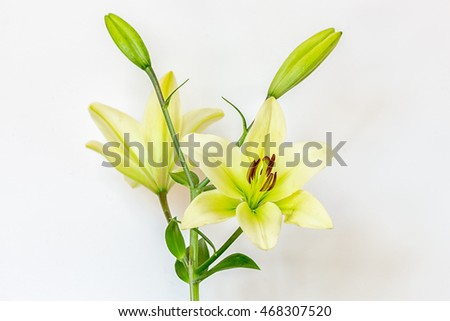Yellow lily flowers photographed against a white background.