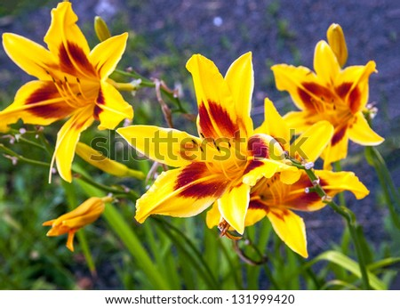 yellow lily on natural soil - stock photo