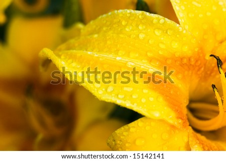 yellow lily with water drops