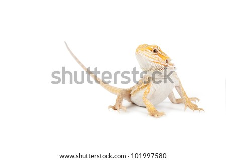 Yellow lizard on a white background with a soft shadow. - stock photo