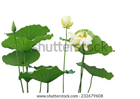 Yellow lotus flower and leaves isolated on white - stock photo
