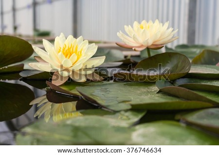 Yellow lotus flower in pond - stock photo