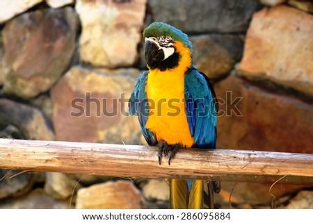 Yellow macaw - stock photo