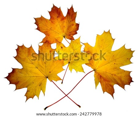 Yellow maple autumn leaves on the white background.  - stock photo