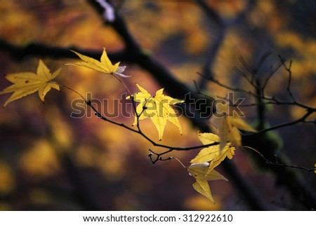 Yellow maple in fall - stock photo