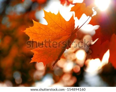 Yellow maple leaf - stock photo