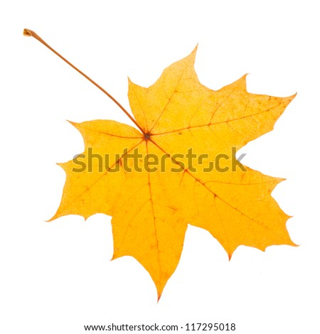 Yellow maple leaf as an autumn symbol. Isolated on white. - stock photo